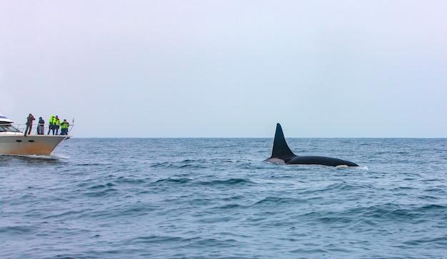 O turista vendo uma baleia assassina mergulhar em kamchatka