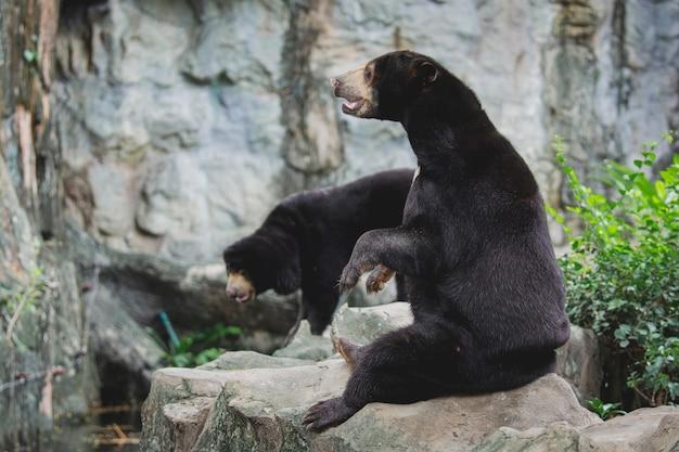 O urso-do-sol malaio ou o urso-mel, sentado nas rochas, acenam para pedir comida aos turistas no zoológico