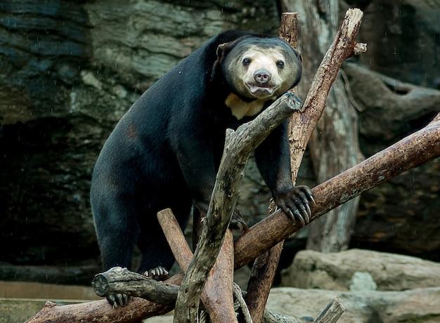 O urso está em uma vara em um zoológico.