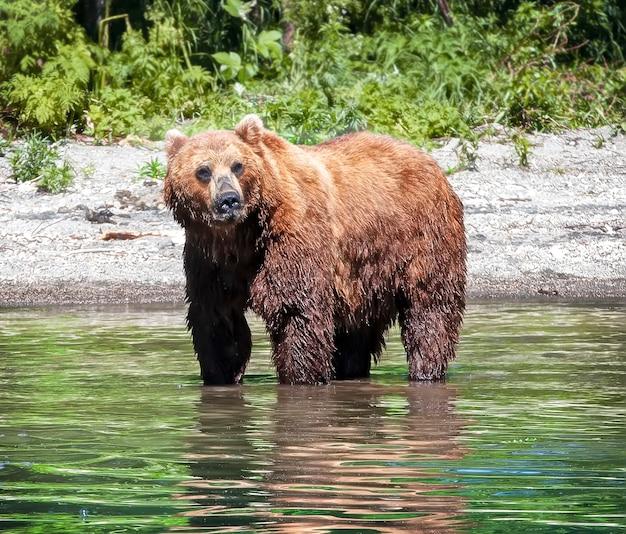 O urso marrom ursus arctos correndo na floresta em kamchatka