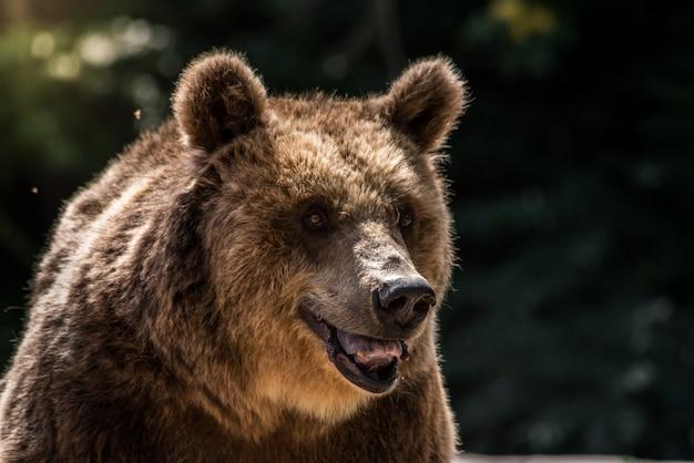 O urso pardo