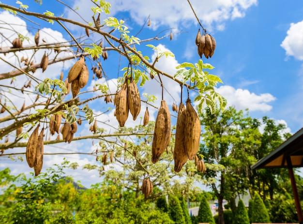 O vagens frescas bombax pendurado na árvore espinhosa, bombax ceiba, vagens de sumaúma