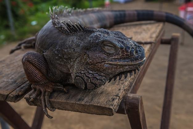 O varan repousa sobre a mesa. lagarto de close-up.