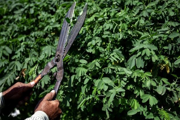 O velho jardineiro corta o arbusto com uma grande tesoura de poda de metal