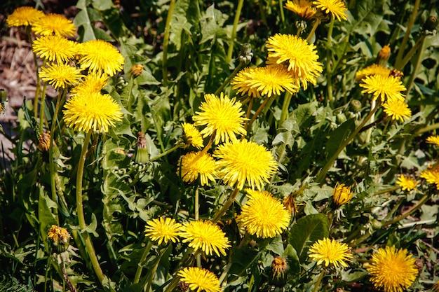 O verão floresce dentes-de-leão amarelos. flores brilhantes e ensolaradas.