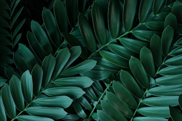 O verde escuro deixa o teste padrão da planta sempre-verde da palma de papelão ou do cartão cycad (zamia furfuracea) ao méxico, fundo abstrato da natureza verde.
