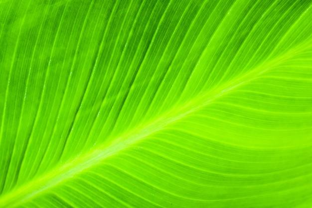 O verde natural das folhas de bananeira