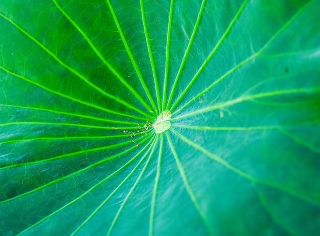 O verde natural das folhas de lótus