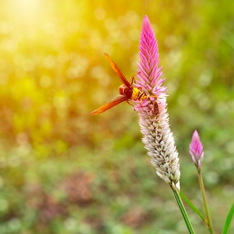 O vespão (hymenoptera) está sugando o néctar das flores rosas do pasto.