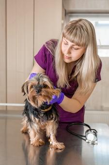 O veterinário da jovem na clínica examina com estetoscópio um cão da raça yorkshire terrier.