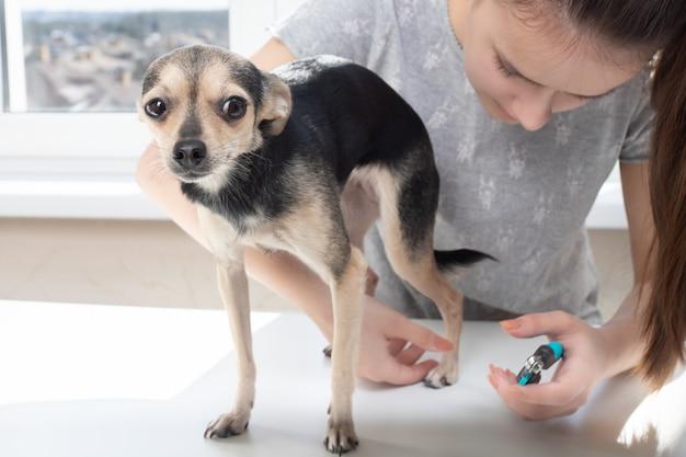 O veterinário da mulher corta as garras de um terrier de brinquedo pequeno cão na clínica