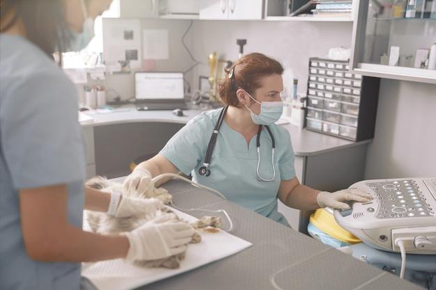O veterinário realiza investigação de ultrassom com o assistente segurando o gato no consultório da clínica