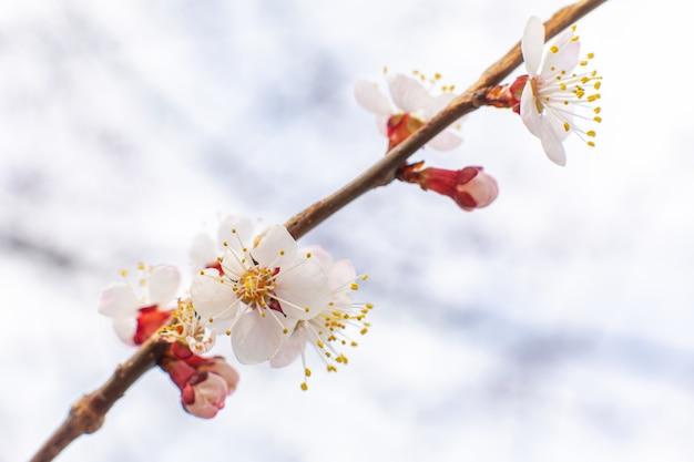 O vidoeiro de florescência ramifica contra o céu. árvores floridas da primavera
