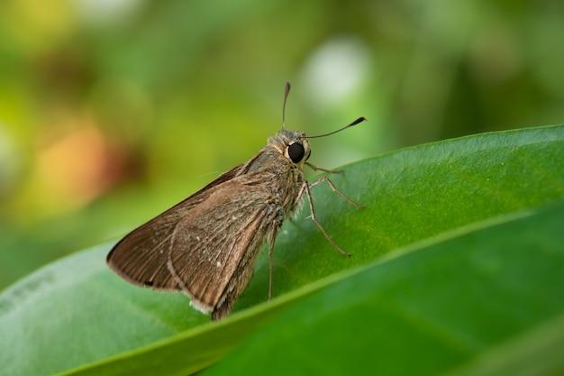 Ocola skipper é nossa menor borboleta em uma folha verde com um fundo desfocado