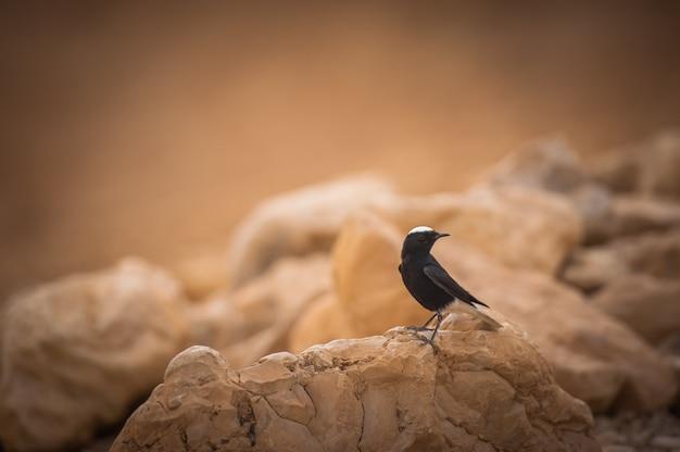 Oenanthe leucopyga fica em uma rocha no deserto de israel.
