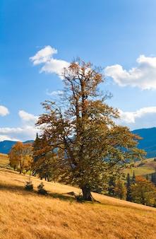 Ofereça uma bela árvore solitária de outono na encosta da montanha (cárpatos. ucrânia)