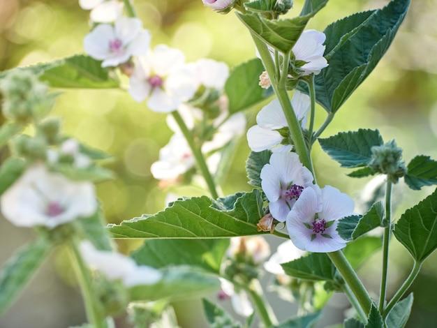 Officinalis de althaea da flor selvagem no jardim.