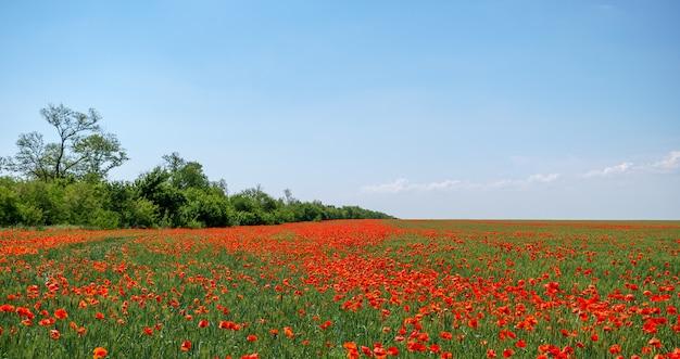 Olá primavera. paisagem espetacular do campo de papoilas de primavera em plena floração. céu azul.