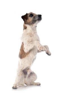 Old jack russel terrier na frente do fundo branco