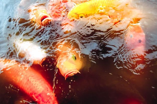 Oldfish nadando na piscina contra um fundo de água laranja