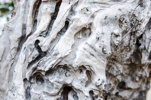 Olea europaea bonsai velho, bonsai verde-oliva em um jardim