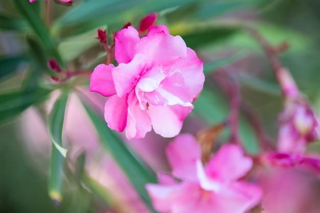 Oleandro rosa nerium. lindas flores fecham. foto de alta qualidade