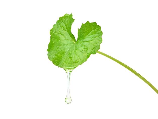 Óleo essencial de gotu kola (centella asiatica) escorrendo de uma folha fresca, isolada no fundo branco. traçado de recorte.