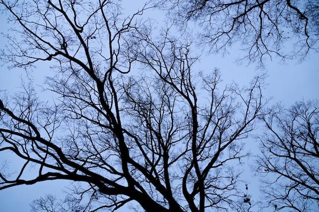 Olhando acima a árvore leafless contra o céu azul. muitos galhos secos escuros. sinta-se conceito solitário.