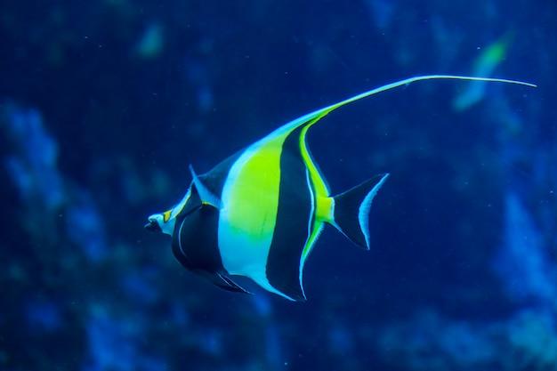 Olhando através de um vidro transparente, um peixe do mar nadando em um tanque