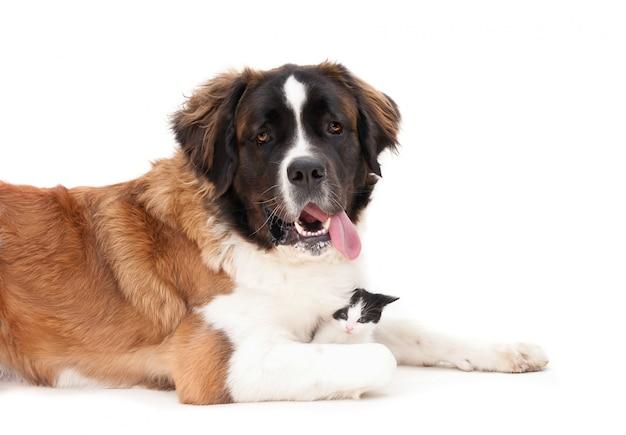 Olhando o cão de montanha de bernese com um gatinho