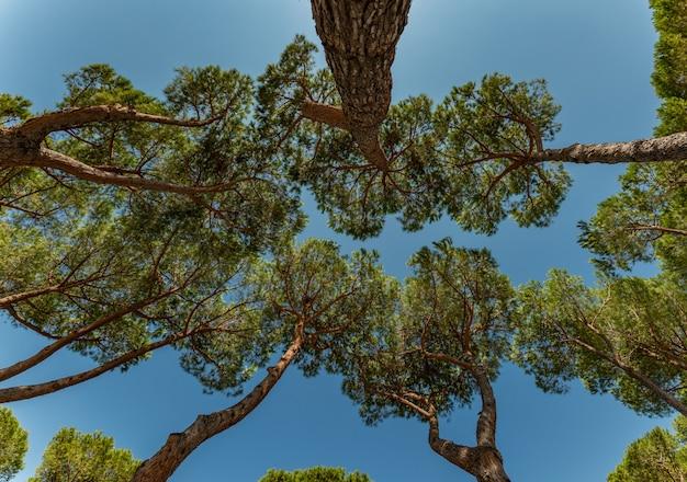 Olhando para o céu através das copas dos pinheiros