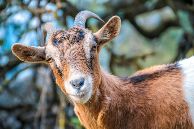 Olhando para uma cabra marrom e branca nos picos da europa. asturias