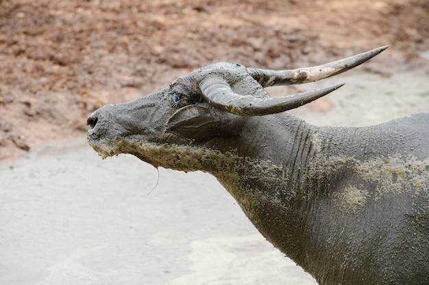 Olhar de búfalo tailandês ficar na lama