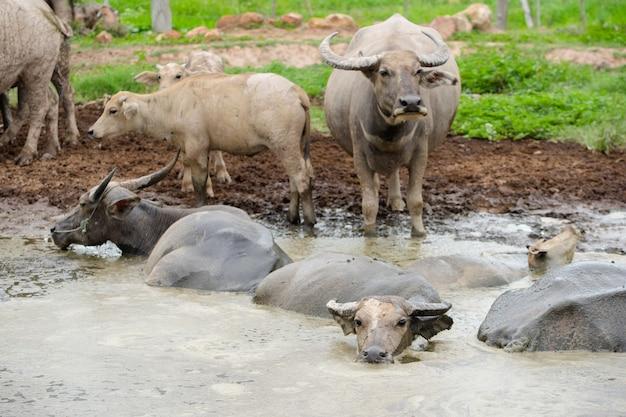 Olhar de búfalo tailandês sente-se na lama