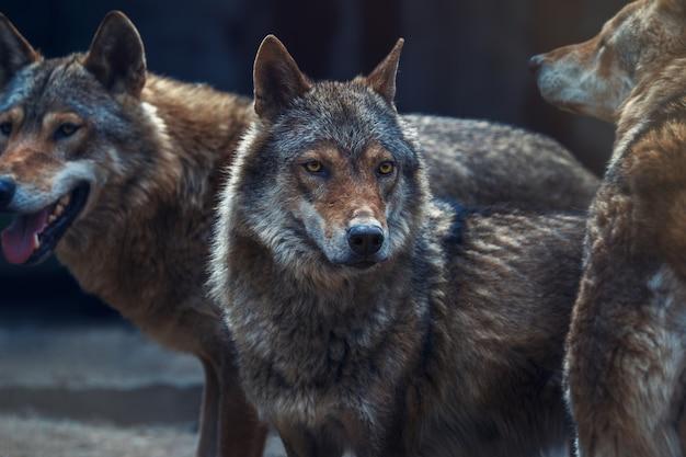 Olhar de lobo