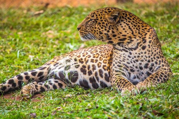 Olhar de um adorável leopardo na grama do orfanato. visitando o importante orfanato de nairobi para animais desprotegidos ou feridos. quênia