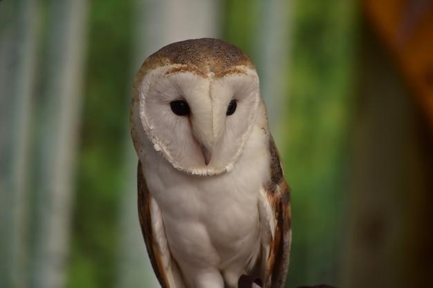 Olhar fantástico para o rosto de uma coruja de celeiro enquanto empoleirado