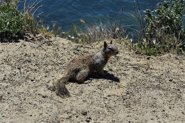 Olhar selvagem para um esquilo à terra pendurado na praia.