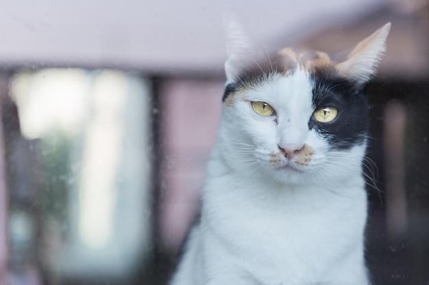 Olhar tailandês do gato amarelo eyed através do espelho.