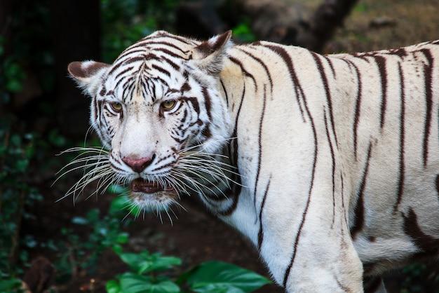 Olhe de perto um grave tigre siberiano. a fera mais perigosa mostra sua calma grandeza. beleza selvagem de um grande gato.