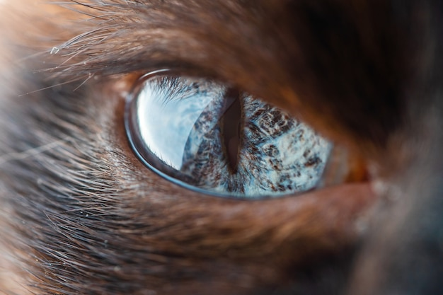 Olho bonito de macro de gato siamês doméstico