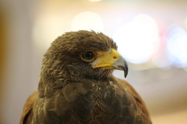 Olho de águia marrom