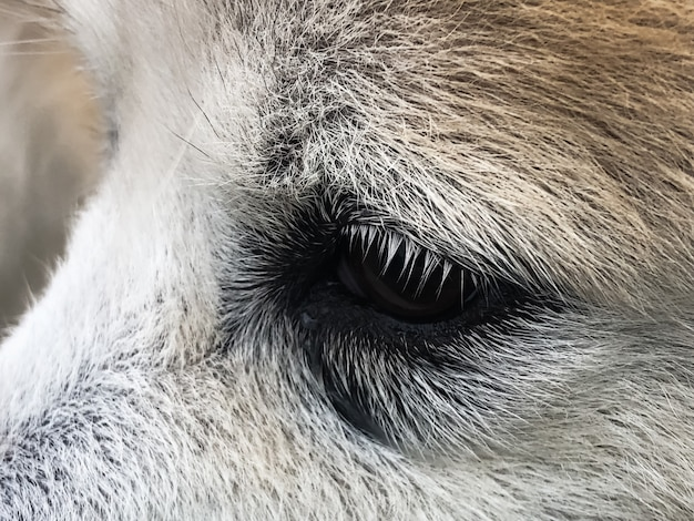 Olho de cachorro com probllem, mostre lágrimas em um cachorro, quando contato com luz solar e pó