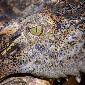 Olho de crocodilo