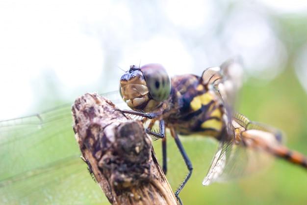 Olho de libélula em selvagem, close-up detalhe da libélula olho