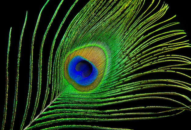 Olho de pavão. pena do pavão isolada no fundo preto.