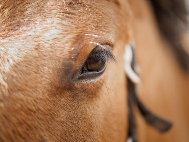 Olho de um cavalo castanho close-up.