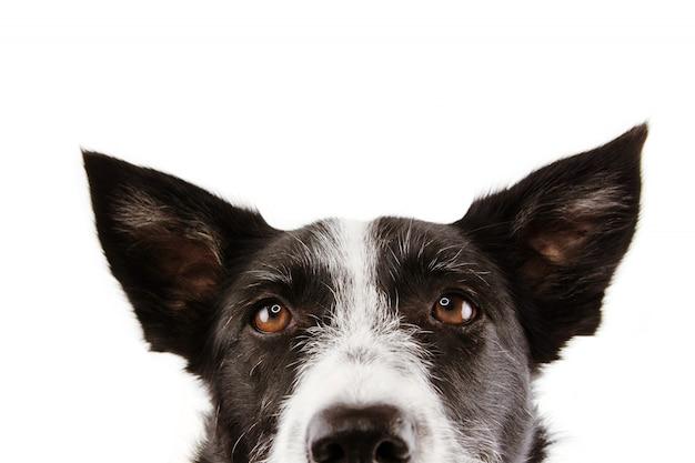 Olhos curiosos do cão de border collie do close-up.
