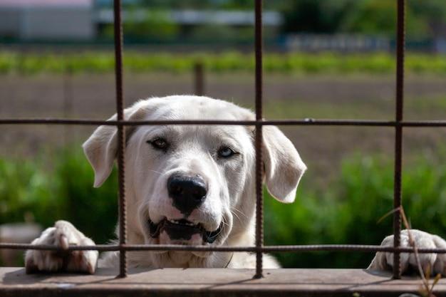 Olhos de cores diferentes em um cão da raça mastiff espanhol