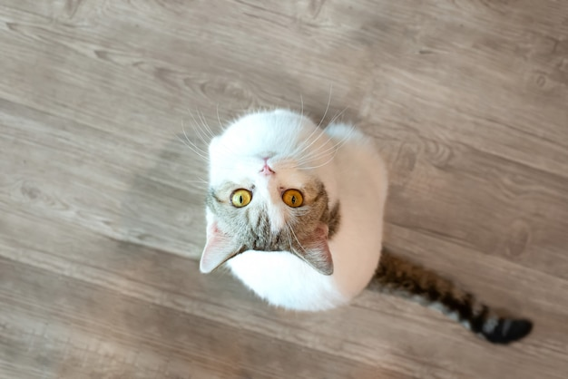 Olhos de gato branco olhando no topo